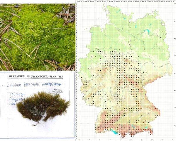 Flexitrichum flexicaule (Foto und Verbreitungskarte) und Flexitrichum gracile (Herbarbeleg).
