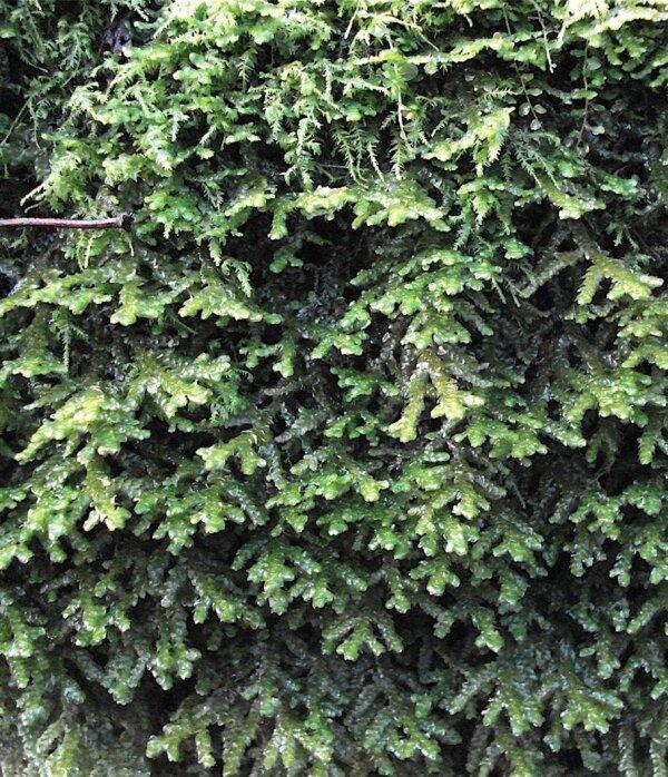 Porella platyphylla (L.) Pfeiff.