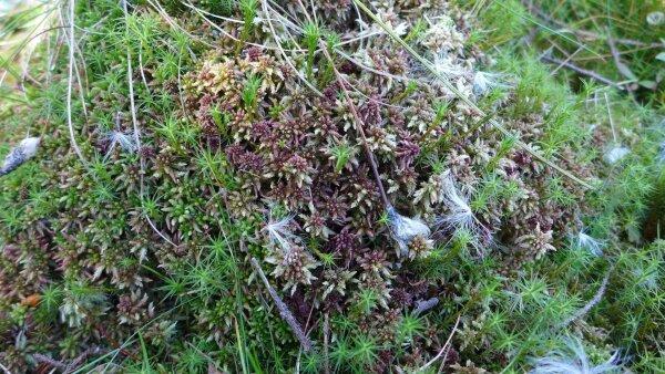 Sphagnum medium Limpr.